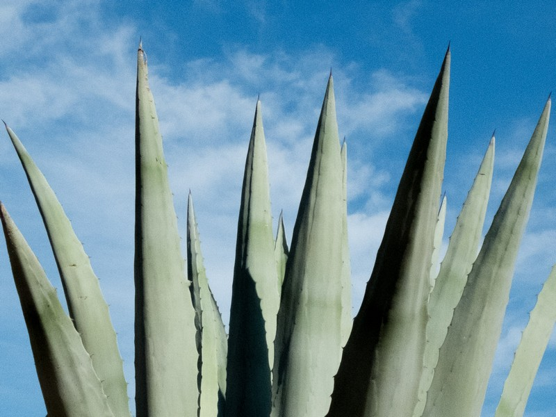 branches d'aloe vera sur fond de ciel bleu